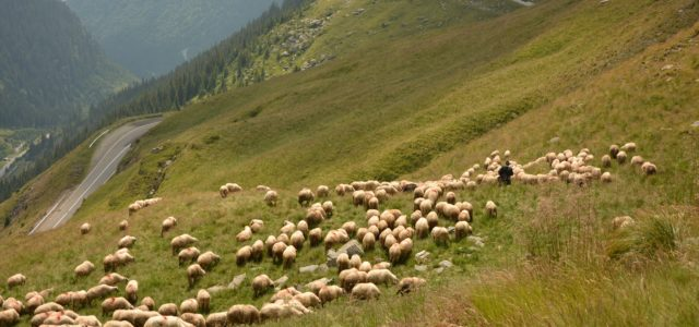 'I Was Born Among the Sheep': Identity in Romanian Shepherd Protests